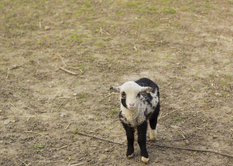 Leuk portret weinig zwart-wit lam op landbouwbedrijf royalty-vrije stock foto's