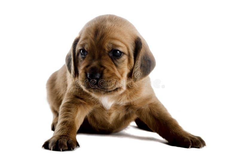 Leuk Puppy royalty-vrije stock foto