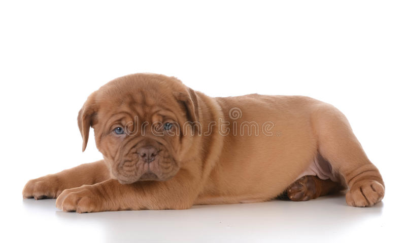 Leuk Puppy royalty-vrije stock foto's