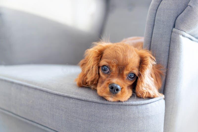 Leuk puppy die op de leunstoel liggen royalty-vrije stock foto's