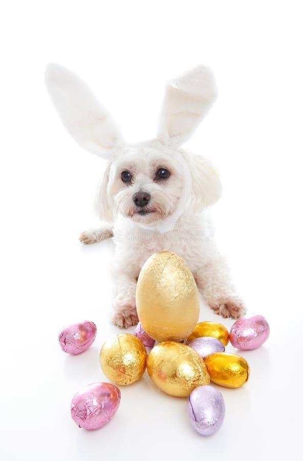 Leuk puppy met de paaseieren van konijntjesoren royalty-vrije stock foto's