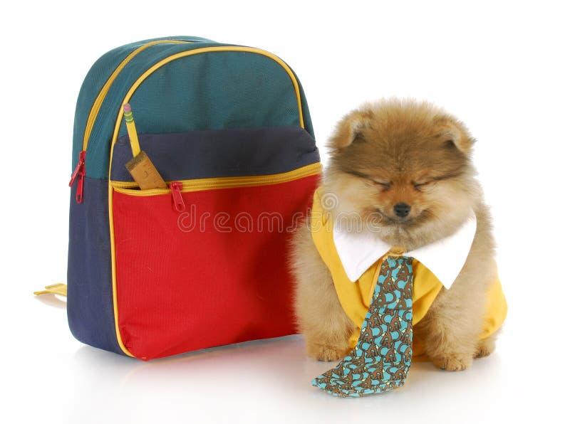 Leuk puppy met schooltas royalty-vrije stock afbeeldingen