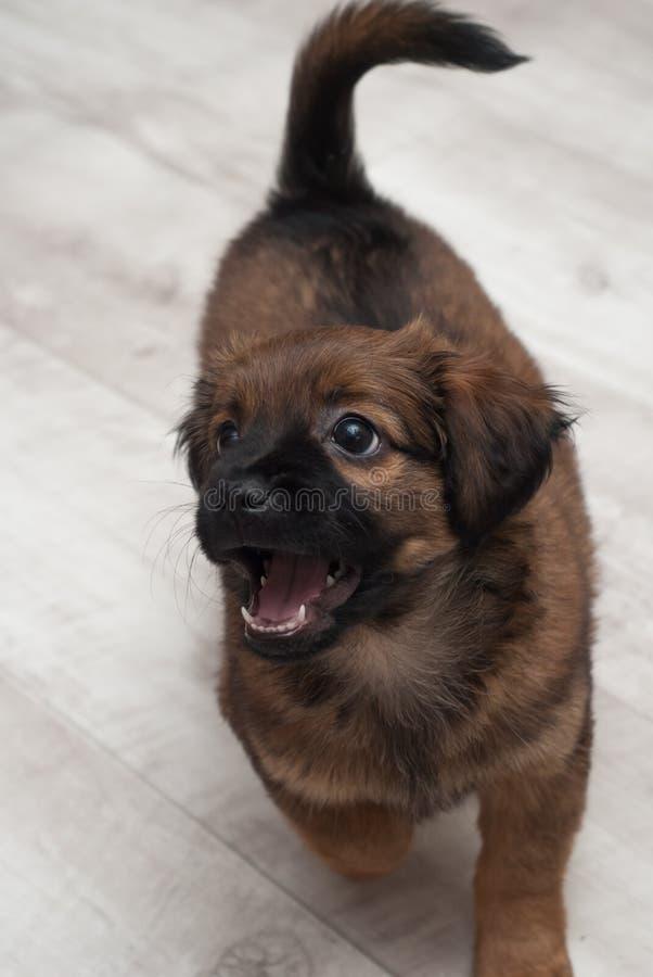 Leuk puppy op de vloer van het huis royalty-vrije stock foto's