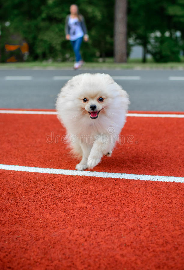 Leuk puppy Pomeranian royalty-vrije stock foto's