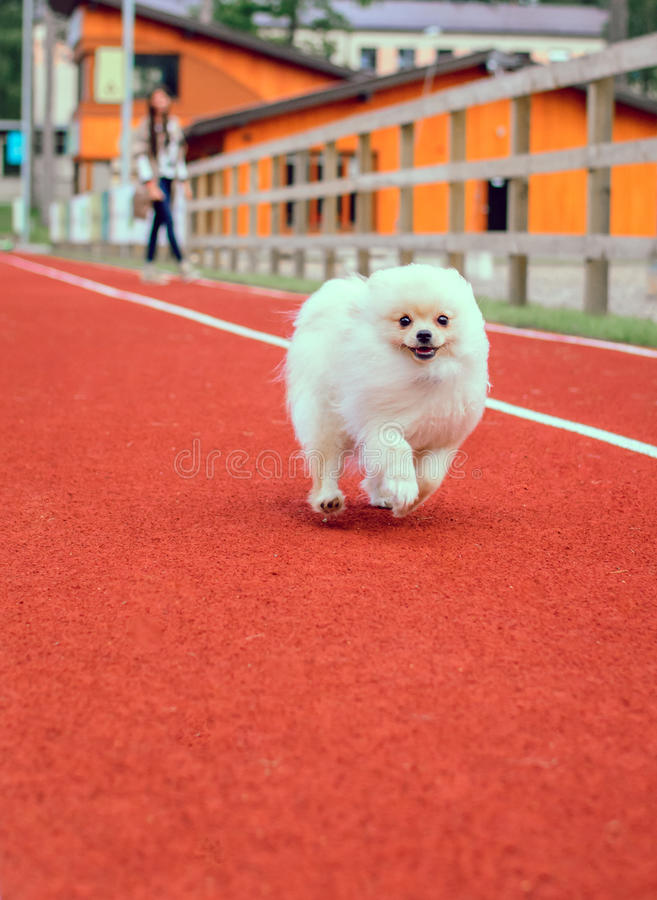 Leuk puppy Pomeranian stock foto's