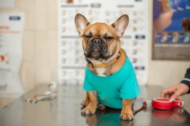 Leuk puppy van Frans Buldogras bij de benoeming van een dierenarts arts Een portret van een hond die op het onderzoek van de arts stock fotografie