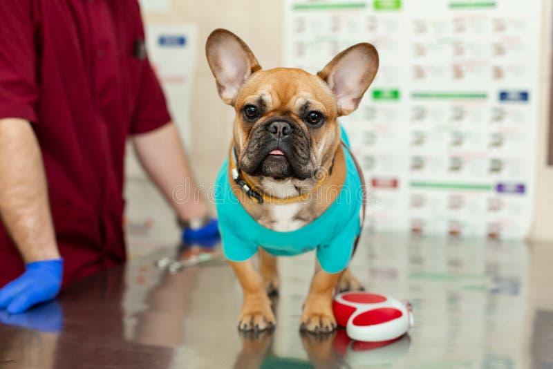 Leuk puppy van Frans Buldogras bij de benoeming van een dierenarts arts Een portret van een hond die op het onderzoek van de arts stock foto