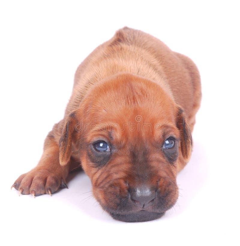 Leuk puppygezicht stock fotografie