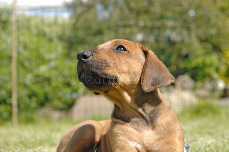 Leuk ridgeback puppy Rhodesian stock fotografie