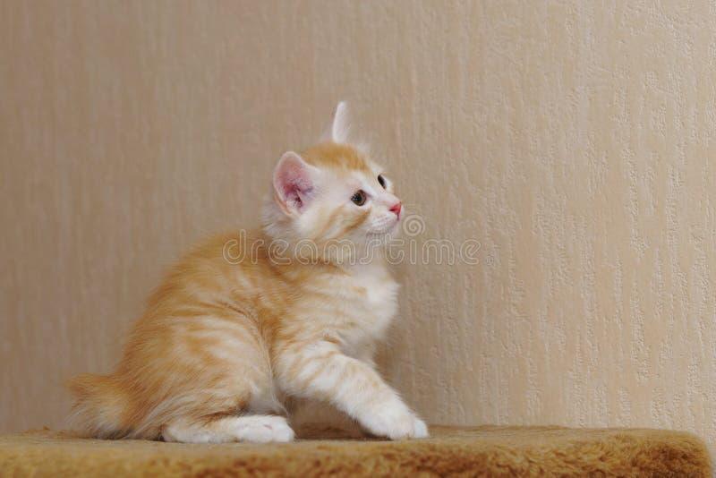Leuk rood katje royalty-vrije stock foto