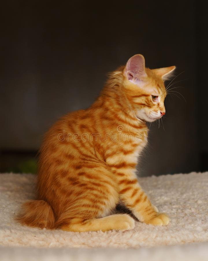 Leuk rood katje royalty-vrije stock afbeeldingen