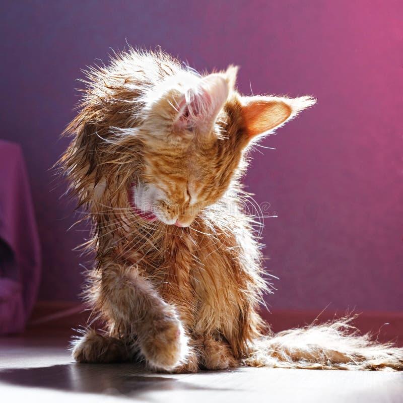 Leuk rood katje Maine Coon royalty-vrije stock foto