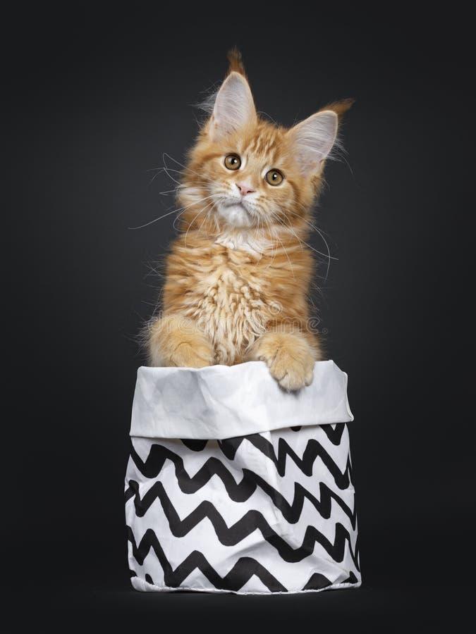 Leuk rood Maine Coon-kattenkatje op zwarte royalty-vrije stock fotografie