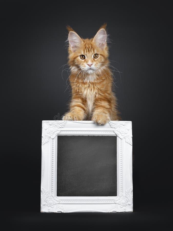 Leuk rood Maine Coon-kattenkatje op zwarte royalty-vrije stock afbeeldingen
