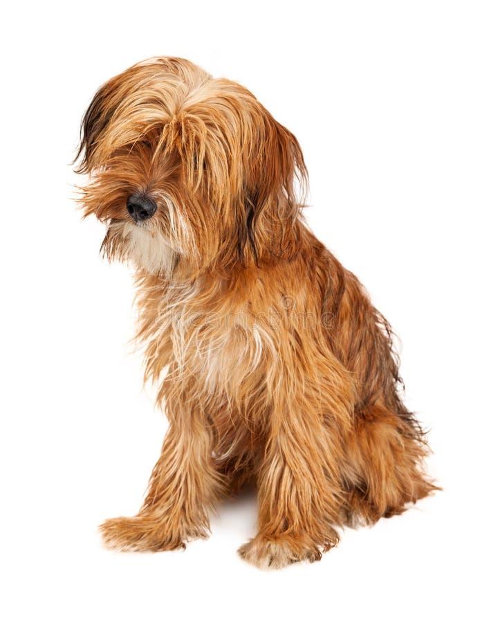 Leuk Shaggy Dog Sitting Tilting Head stock foto