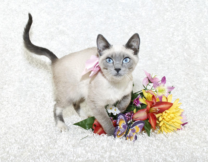Leuk Siamese Katje stock fotografie