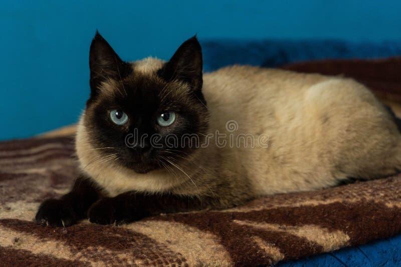Leuk siamese kattenportret met blauwe ogen stock foto's