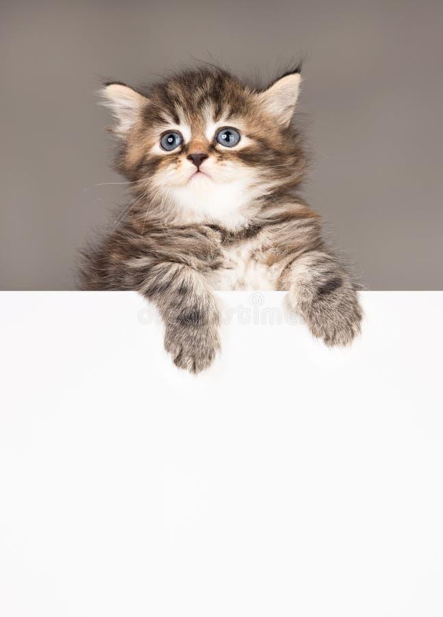 Leuk Siberisch katje stock afbeelding
