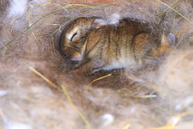 Leuk slaapkonijntje in het nest met haar moeder` s haar royalty-vrije stock fotografie