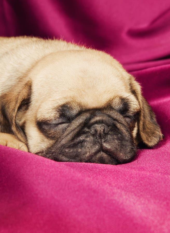 Leuk slaperig pug puppy stock afbeeldingen