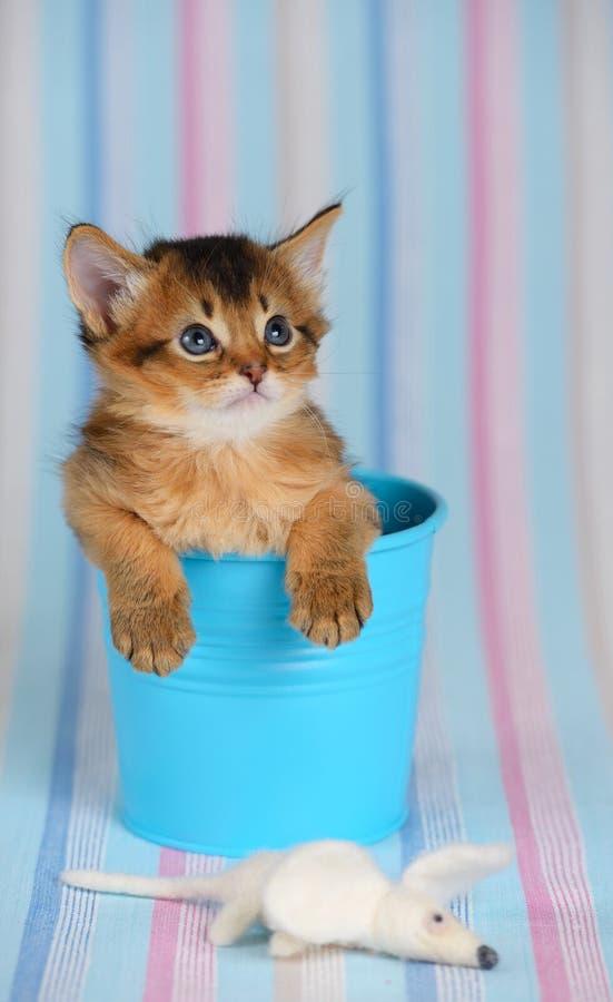 Leuk Somalisch katje in een emmer met muis stock fotografie