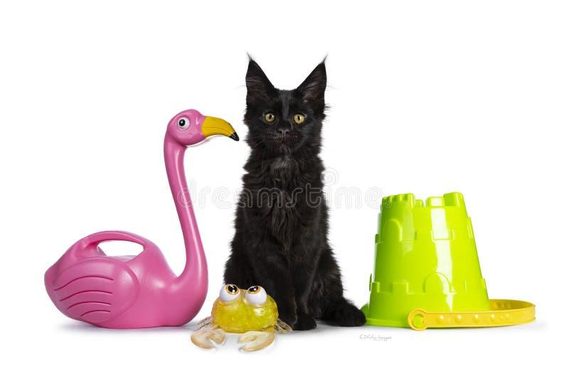 Leuk stevig zwart Maine Coon-kattenkatje op witte achtergrond royalty-vrije stock foto