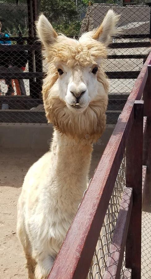 Leuk uitziende alpaca in een landbouwbedrijf in Peru royalty-vrije stock foto