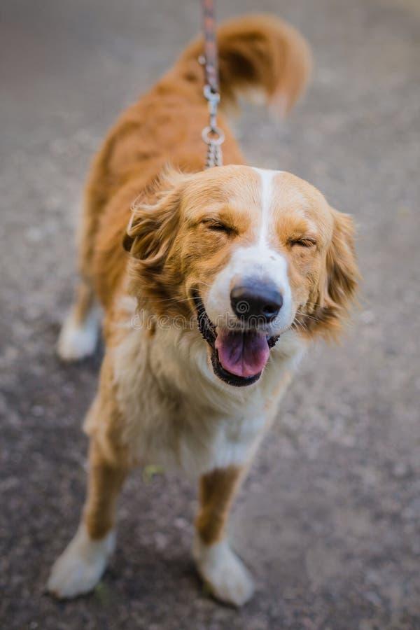 Leuk uitziende beige en witte hond stock afbeeldingen