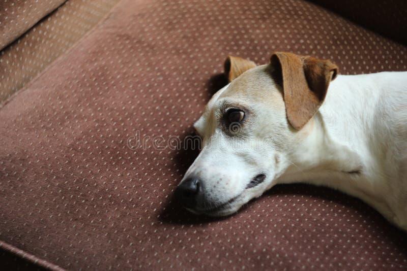 Leuk Vermoeid Jack Russel Terrier Mix Dog Lays zijn Hoofd neer stock foto's