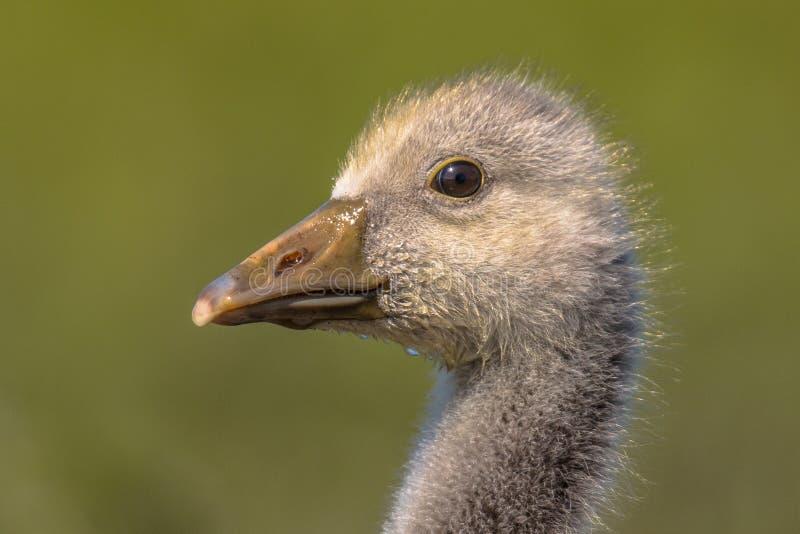 Leuk vogelhoofd van Greylag ganskuiken stock foto's