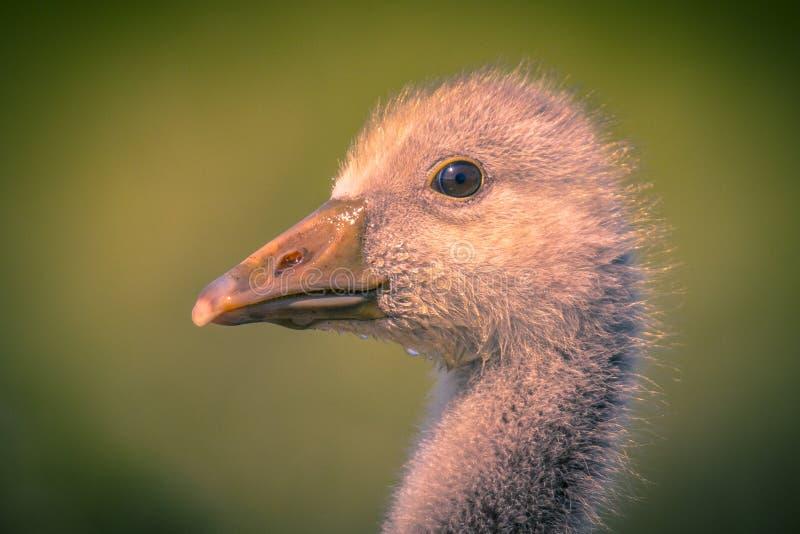Leuk vogelhoofd van Greylag ganskuiken in uitstekende kleuren stock afbeelding