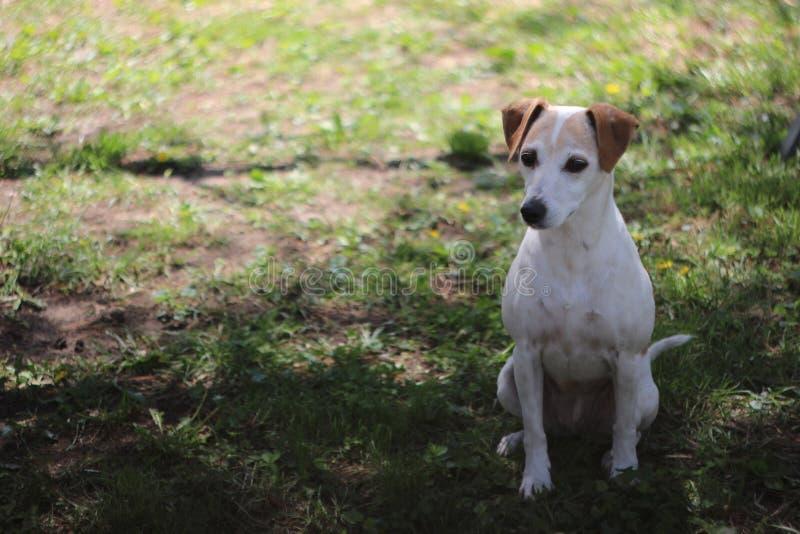 Leuk Voorwaarts Jack Russell Terrier Mix Dog Looks royalty-vrije stock afbeelding