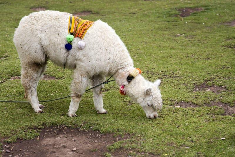 Leuk weinig alpaca van Cusco, Peru royalty-vrije stock fotografie