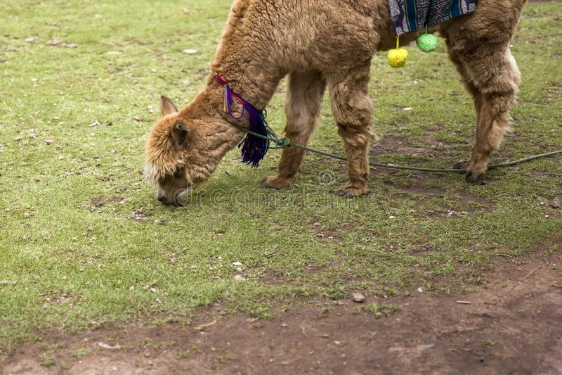 Leuk weinig alpaca van Cusco, Peru royalty-vrije stock foto's