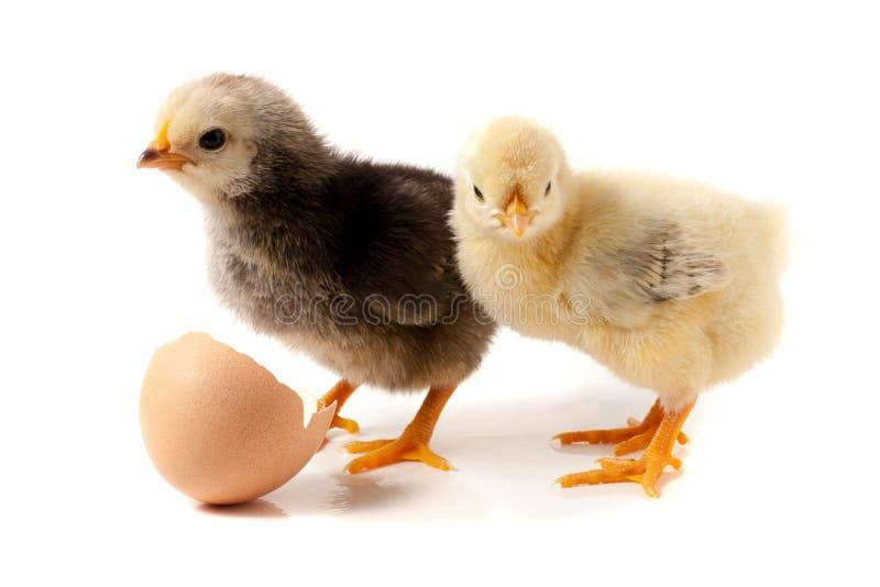 Leuk weinig die kip met eierschaal op witte achtergrond wordt geïsoleerd royalty-vrije stock fotografie