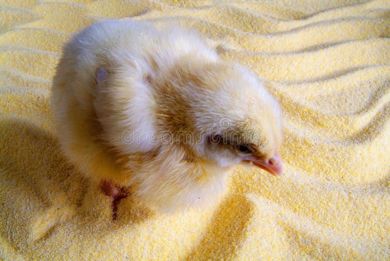 Leuk weinig die kip op gele achtergrond wordt ge?soleerd stock foto's