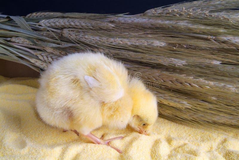 Leuk weinig die kip op gele achtergrond wordt ge?soleerd royalty-vrije stock fotografie