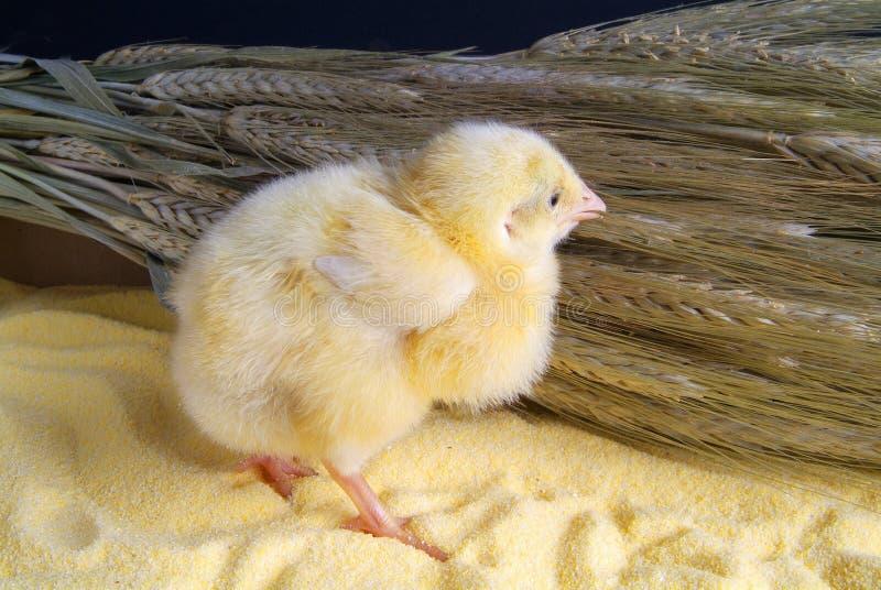 Leuk weinig die kip op gele achtergrond wordt ge?soleerd royalty-vrije stock afbeeldingen
