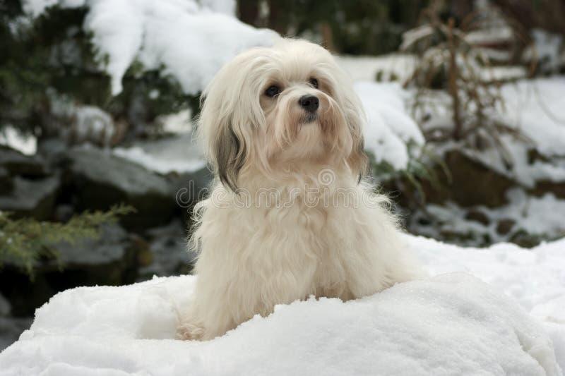 Leuk weinig Havanese meisjeshond in de sneeuw royalty-vrije stock foto
