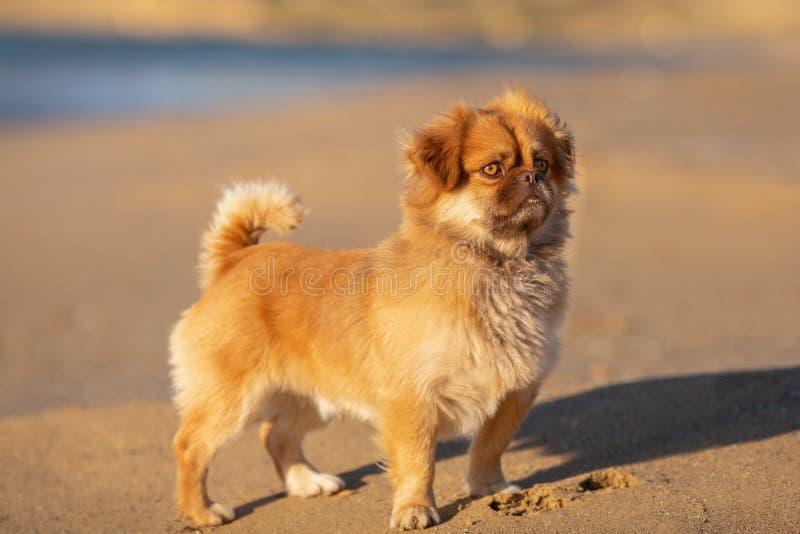 Leuk weinig hond op de kust aardige die uitdrukking met ochtend warm licht wordt behandeld stock foto