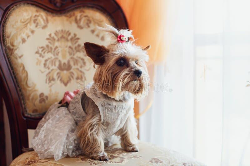 Leuk weinig hondzitting in een kostuum onder bruidkleding royalty-vrije stock foto