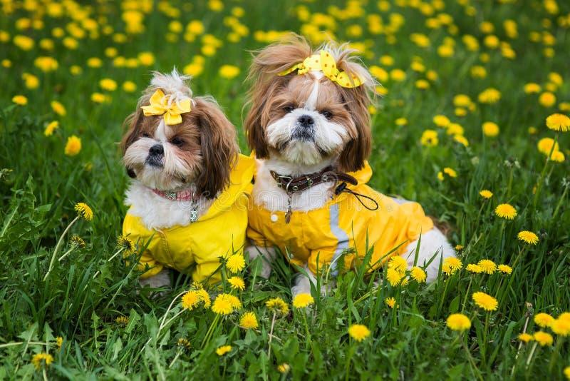 Leuk weinig hondzitting onder gele bloemen in gele overall met bogen in groen gras in het park royalty-vrije stock afbeelding