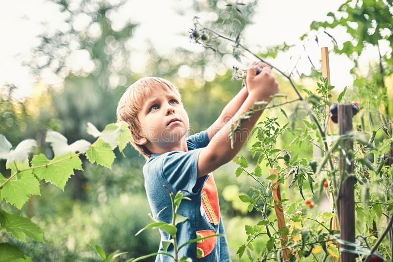 Leuk weinig jongen die rijpe zwarte tomaat in de moestuin verzamelen De zomerrust Gelukkige kinderjaren royalty-vrije stock afbeeldingen