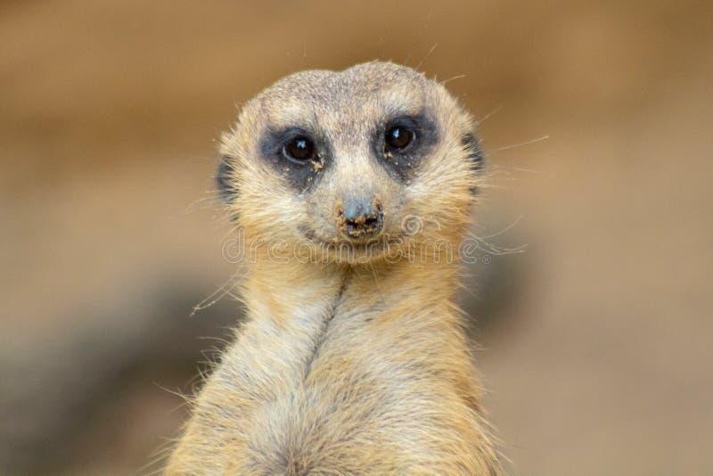Leuk weinig meerkat royalty-vrije stock foto