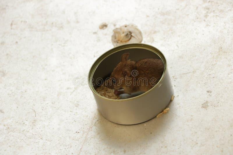 Leuk Weinig Muis die Rijst in Tin Can eten royalty-vrije stock afbeeldingen