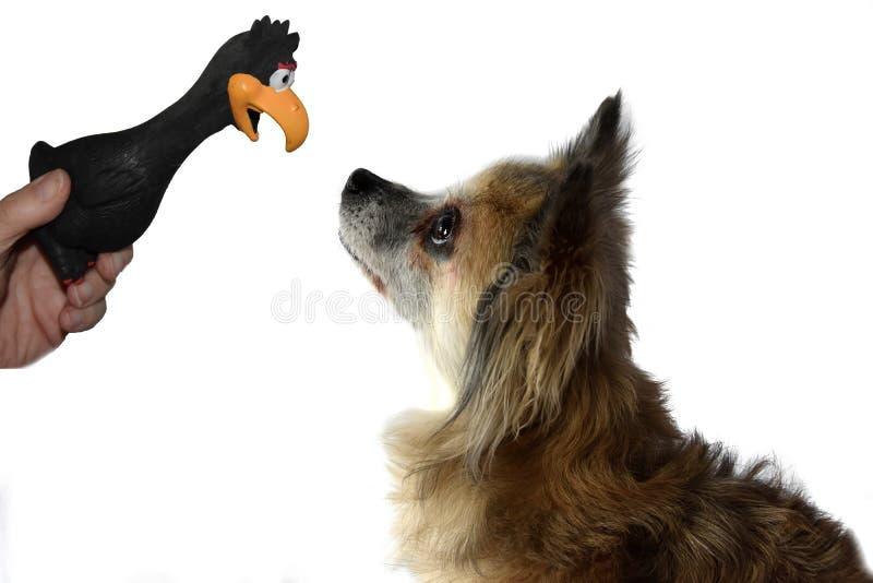 Leuk weinig oog van de chihuahuahond in oog met zijn favoriet stuk speelgoed stock fotografie