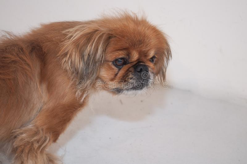 Leuk weinig puppy royalty-vrije stock afbeeldingen