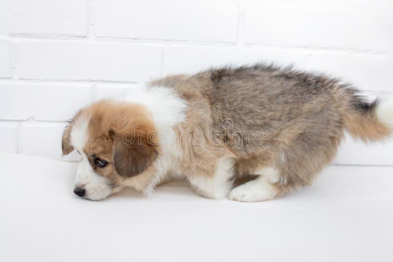 Leuk Weinig Puppy Corgi die Pembroke op een witte achtergrond snuiven Welse dichte omhooggaand van Corgi royalty-vrije stock fotografie