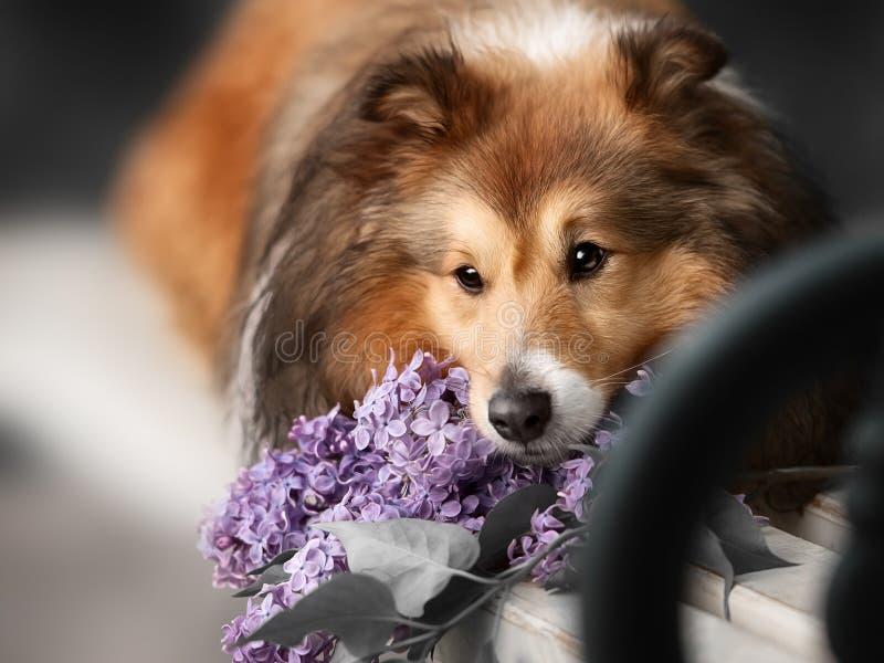 Leuk weinig Sheltie-hond met een boeket van bloemen stock fotografie