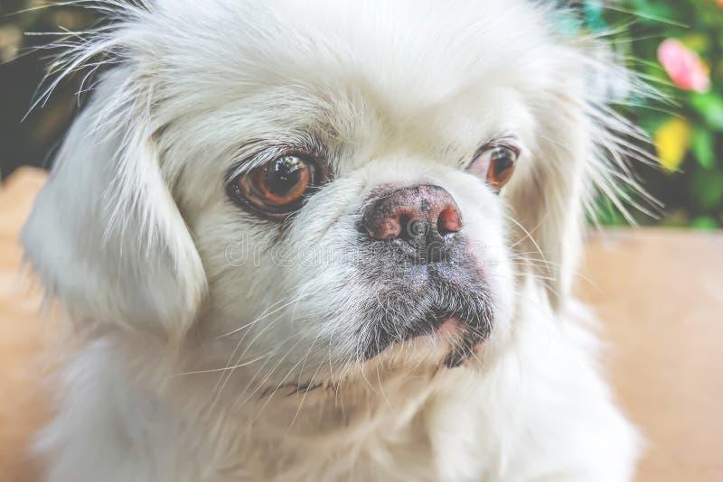Leuk weinig Witte Hond van het Pekineespuppy stock foto's